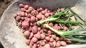wheelbarrow of potatoes